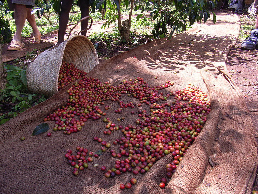 Sidama Coffee Region